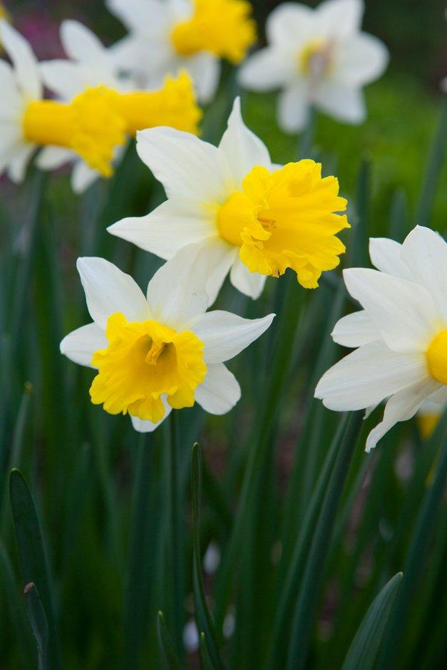 daffodil 'Wisley'