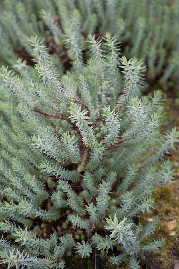 little fir spurge