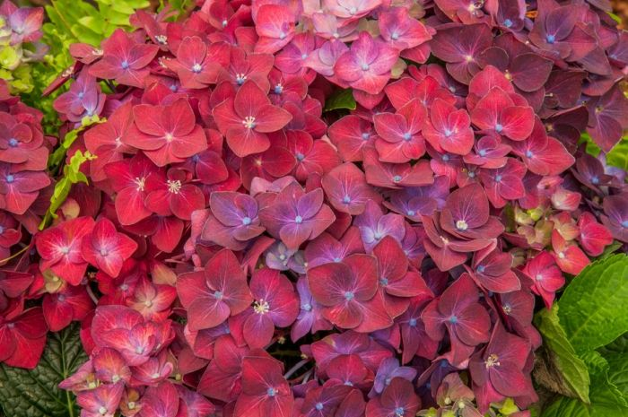 hydrangea [Deep Purple Dance]