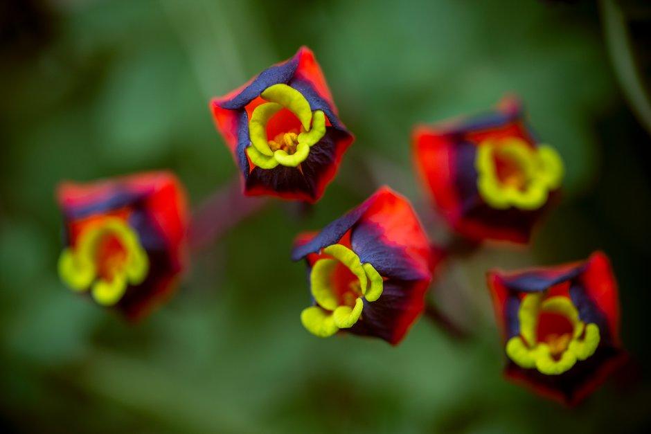 <i>Tropaeolum tricolor</i>