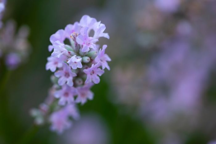 English lavender [Little Lottie]
