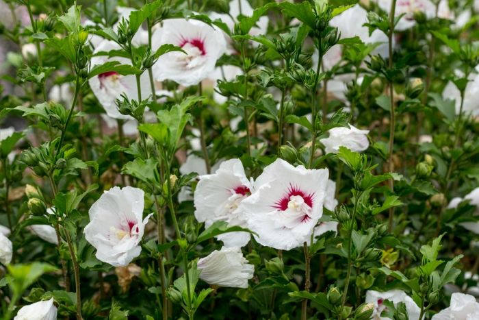 rose of Sharon [French Point]