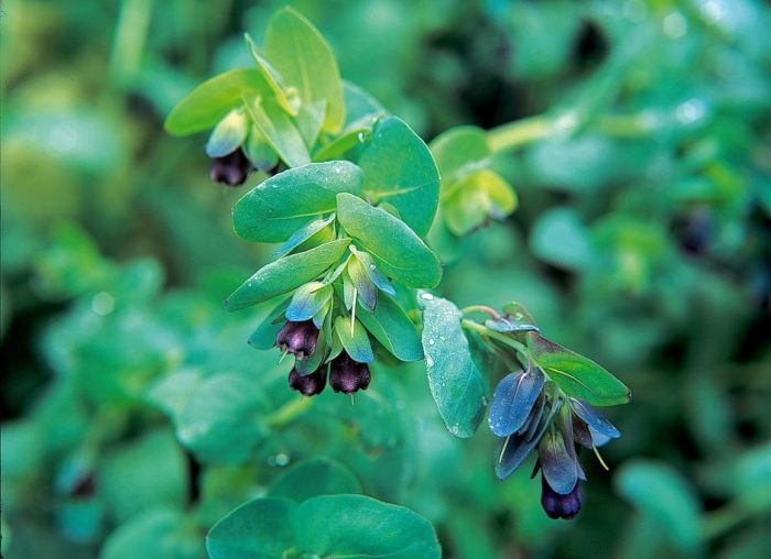 honeywort 'Purpurascens'