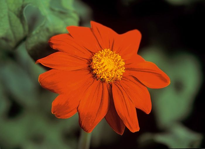 Mexican sunflower 'Torch'