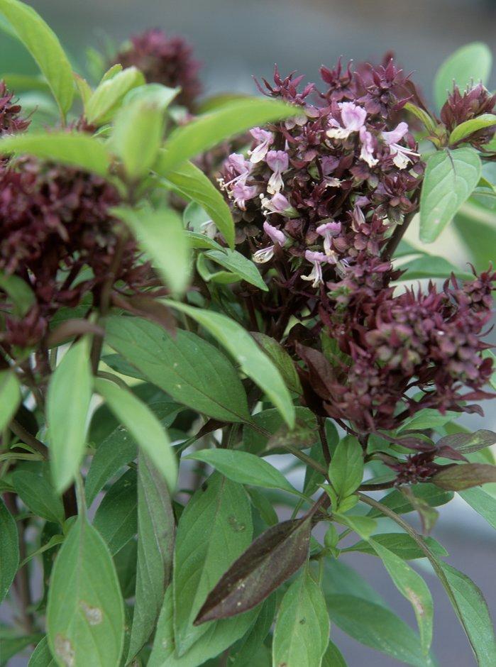 <i>Ocimum basilicum</i>