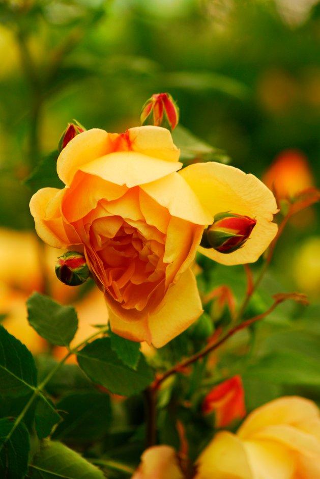 rose [Lady of Shalott]