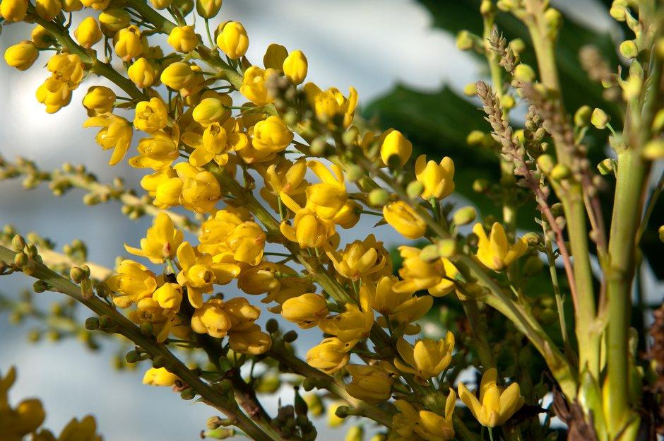 <i>Mahonia napaulensis</i> 'Maharajah'