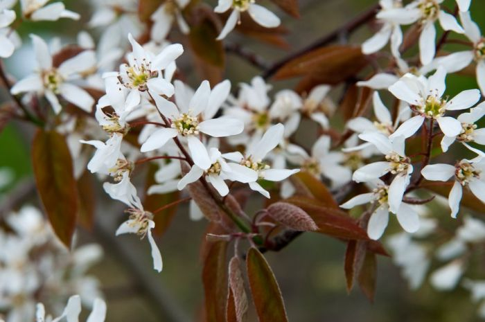 smooth serviceberry 'Prince Charles'
