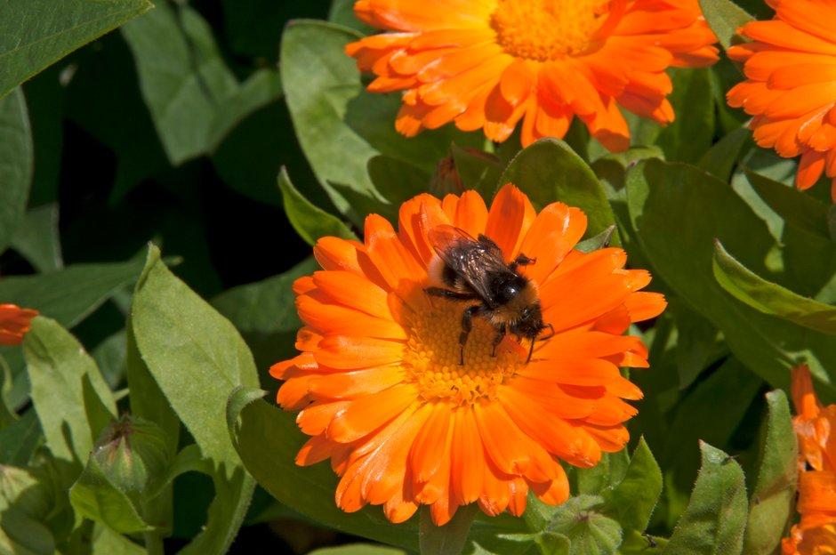 marigold 'Daisy May'