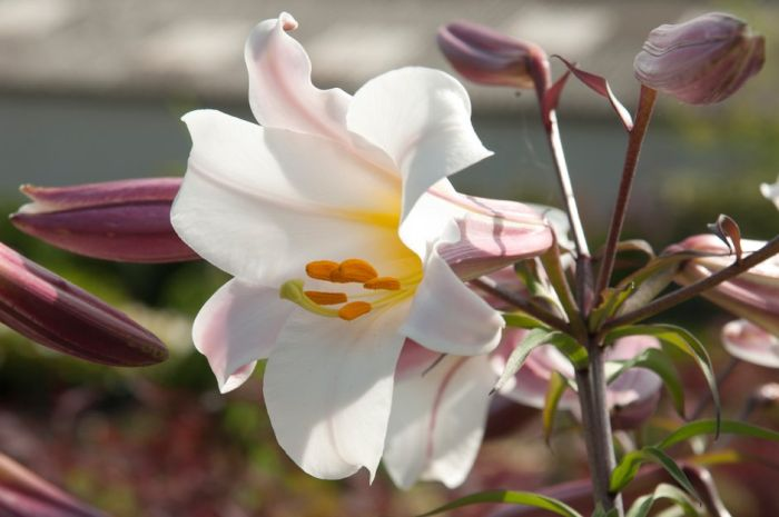 king's lily