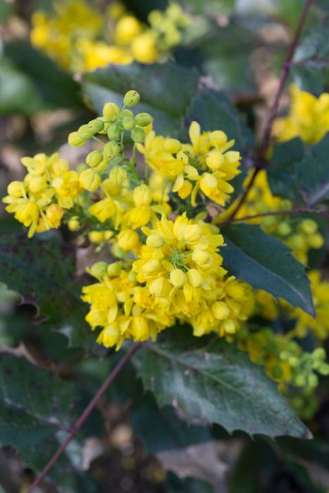 Oregon grape 'Apollo'