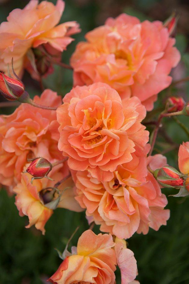 <i>Rosa</i> 'Korwest'