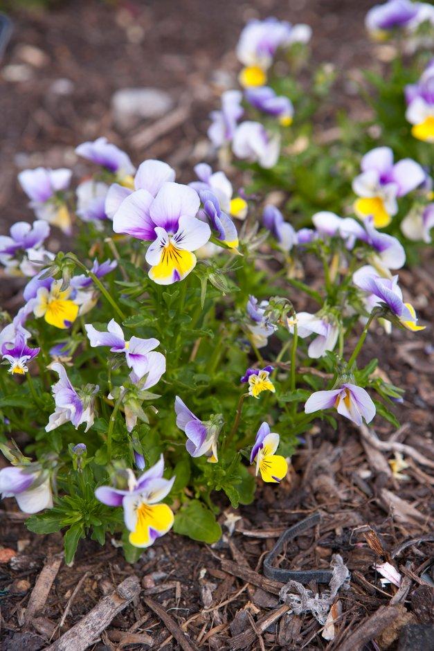 viola 'Floral Power'