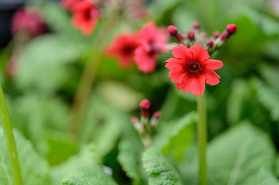 Japanese primrose 'Miller's Crimson'