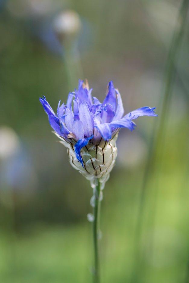 blue cupidone