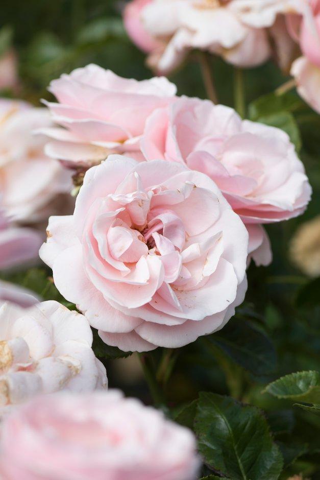 rose [Aphrodite]