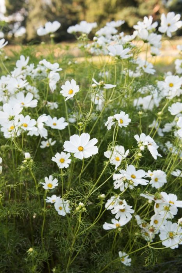 <i>Cosmos bipinnatus</i> 'Gazebo White'