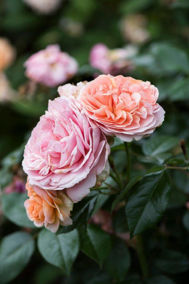 rose [Duchess of Cornwall]