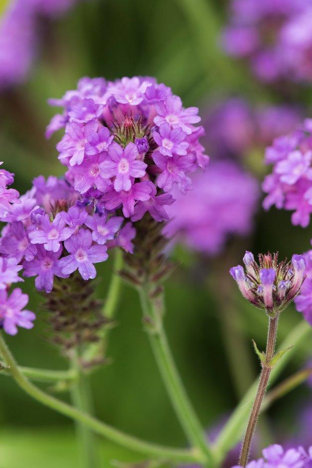 Hardy Garden Verbena