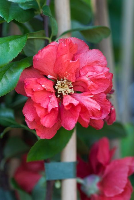 Japanese quince 'Pink Storm'