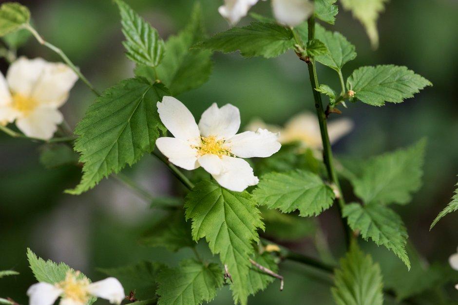 Japanese rose 'Albescens'