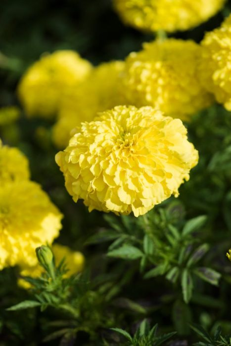 African marigold [Perfection Yellow]