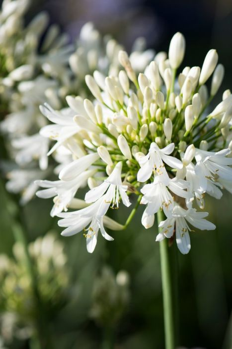 African lily 'Snow Cloud'