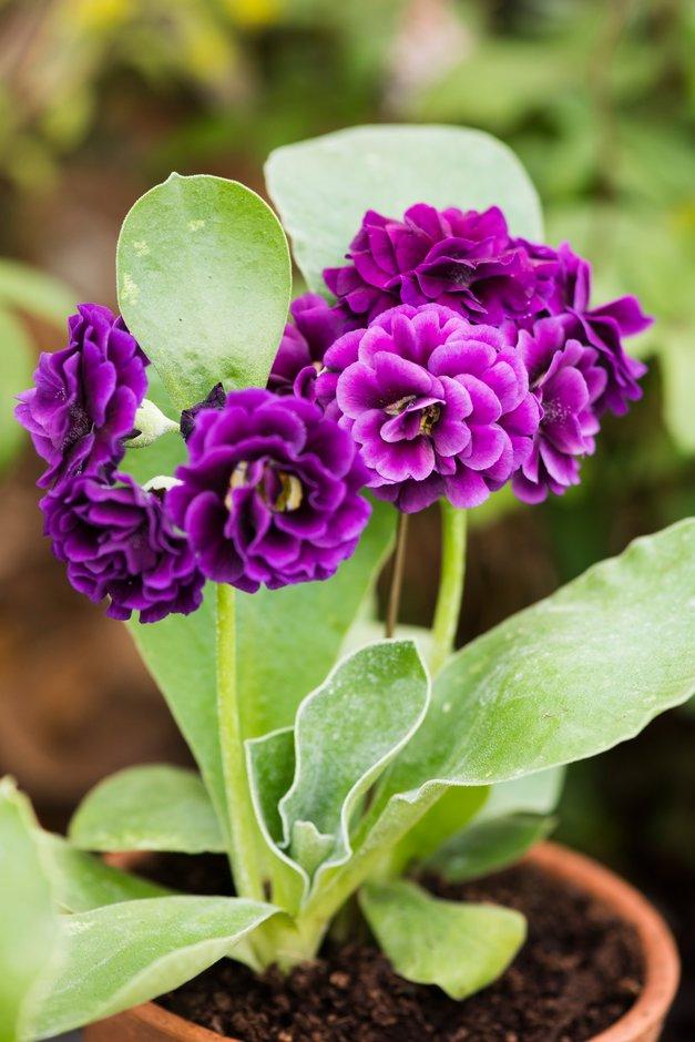 <i>Primula auricula</i> 'Purple Pip' (Au/d)