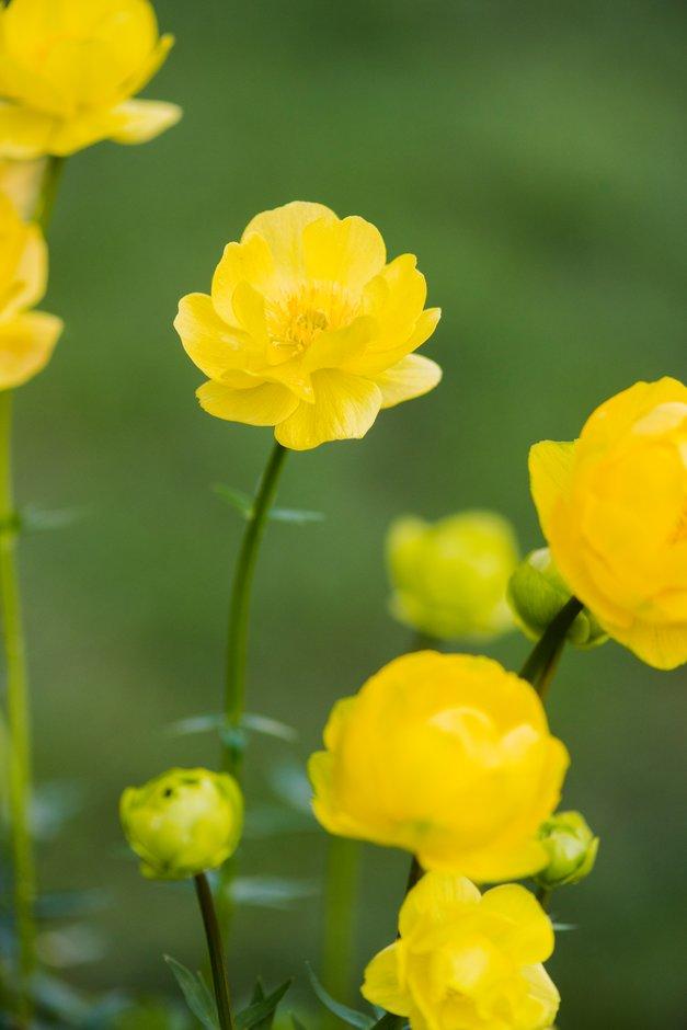 globeflower 'Lemon Queen'