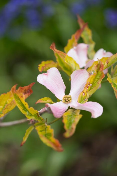 eastern flowering dogwood 'Sunset'