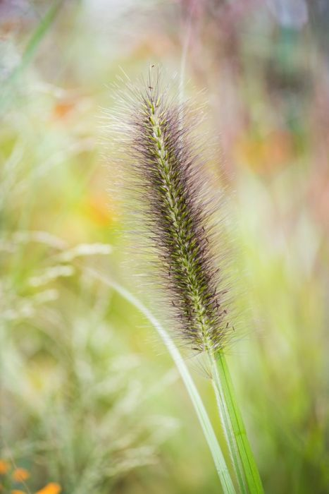 Chinese fountain grass 'Black Beauty'