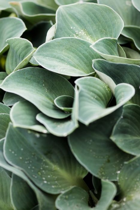 Hosta Blue Mouse Ears Plantain Lily Blue Mouse Earsrhs Gardening