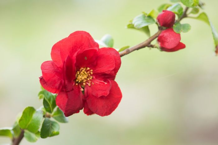 flowering quince 'Scarlet Storm'