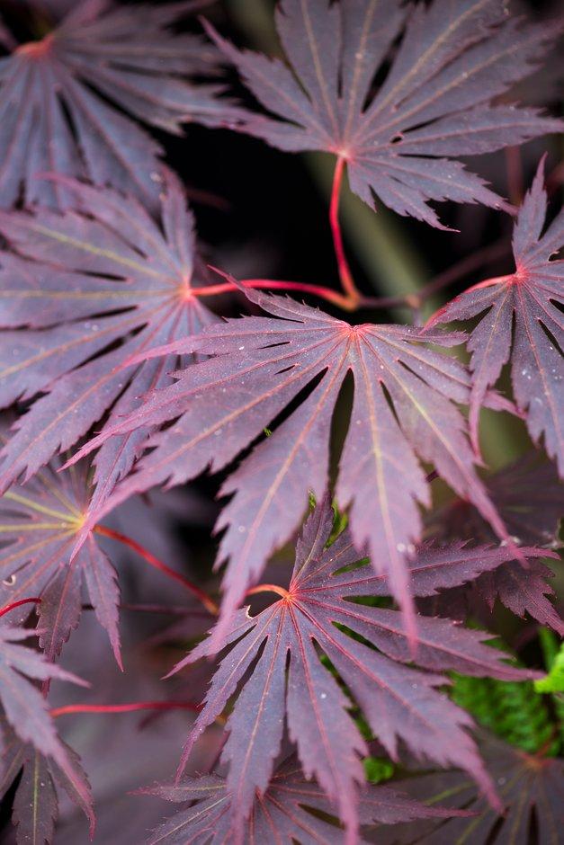 Japanese maple 'Yasemin'