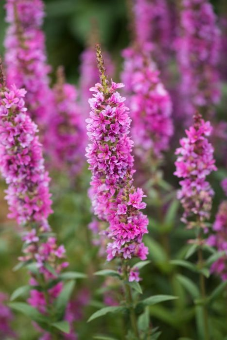 purple loosestrife 'Robert'