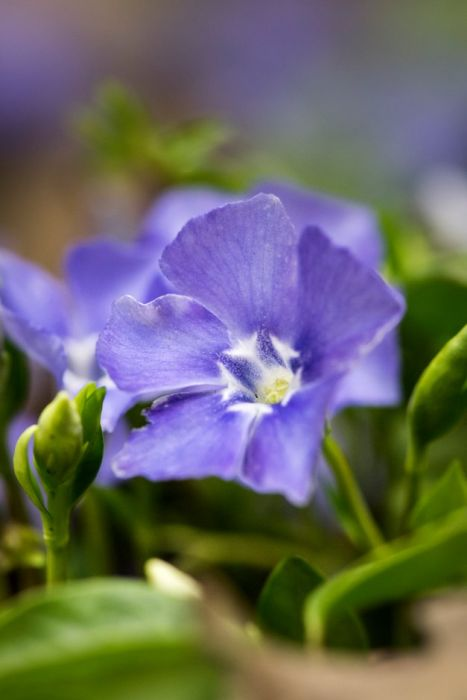 lesser periwinkle 'Bowles's Variety'