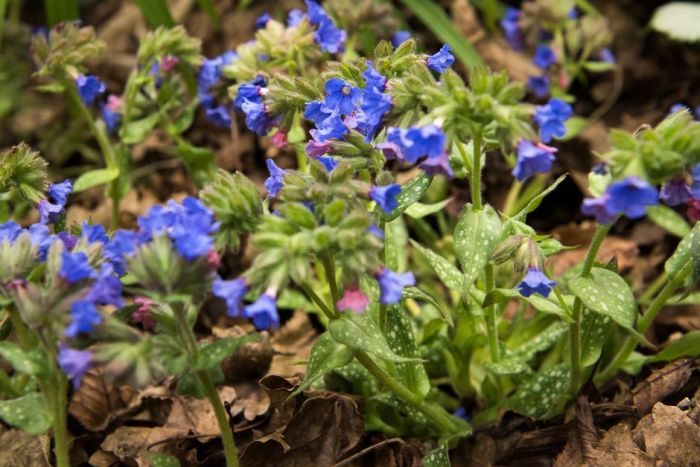 lungwort 'Trevi Fountain'
