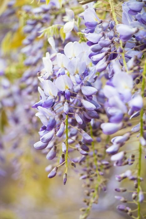 Chinese wisteria 'Prolific'