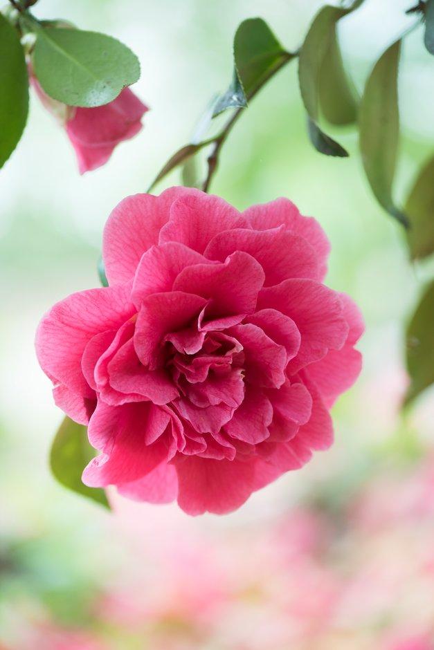 camellia 'Rose Parade'