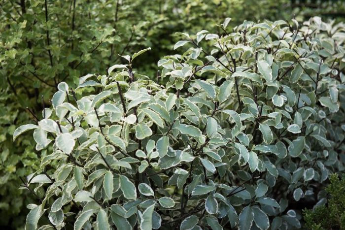 pittosporum 'Collaig Silver'