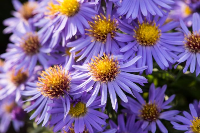 New England aster 'Helen Picton'