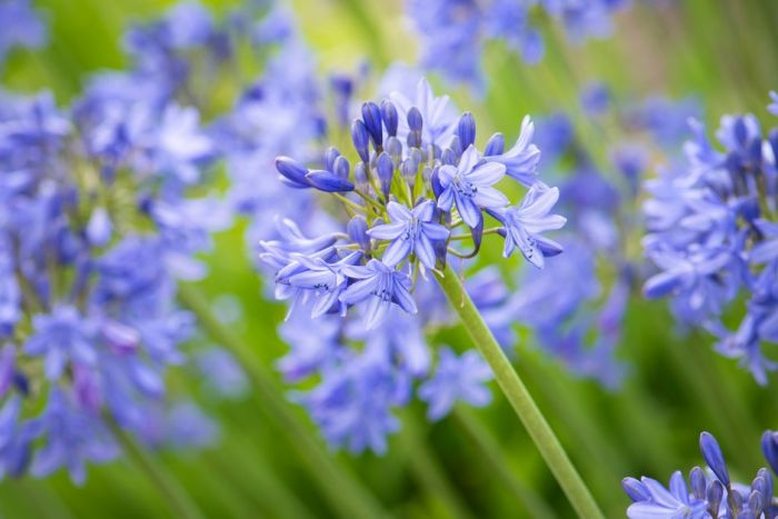 Agapanthus African Lily For Garden Borders Rhs Gardening