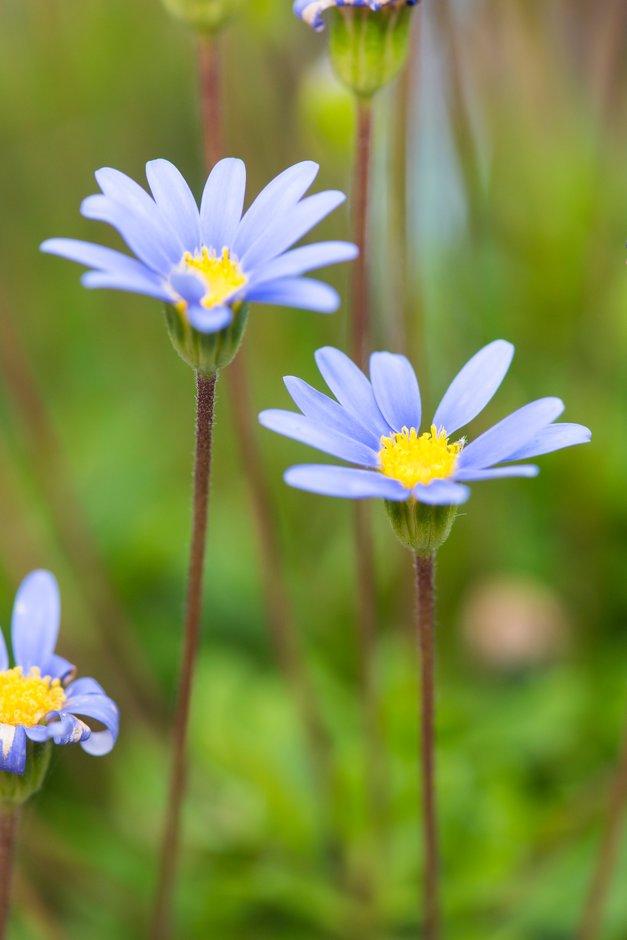 blue daisy [Friends Azure Blue]
