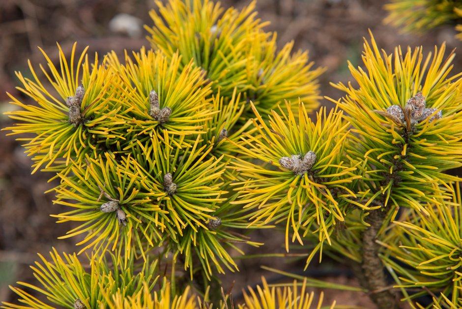 dwarf mountain pine 'Winter Sun'