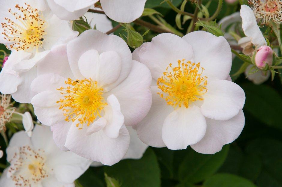 snowbush rose
