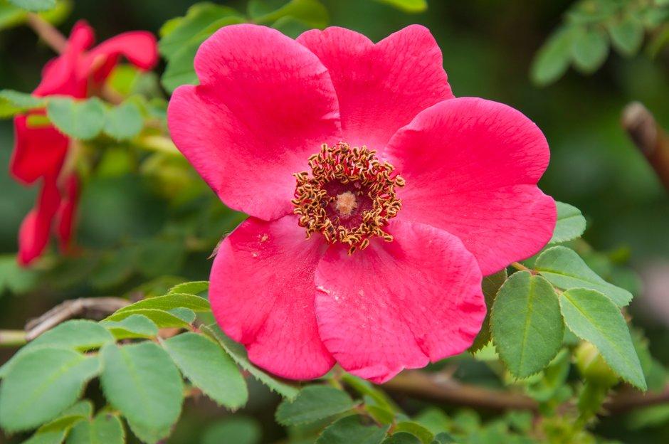 rose 'Geranium'
