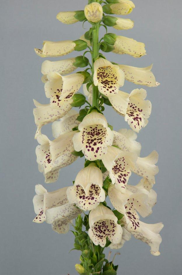 <i>Digitalis purpurea</i> 'Dalmatian Cream' (Dalmatian Series)
