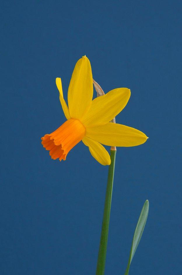 daffodil 'Itzim'