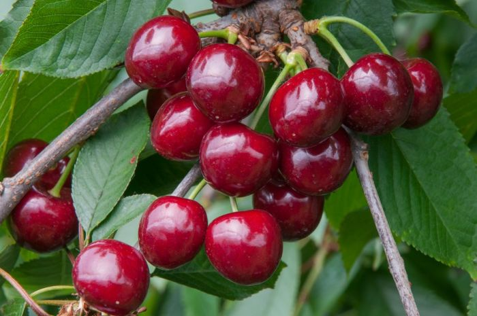cherry (sweet) 'Summer Sun'