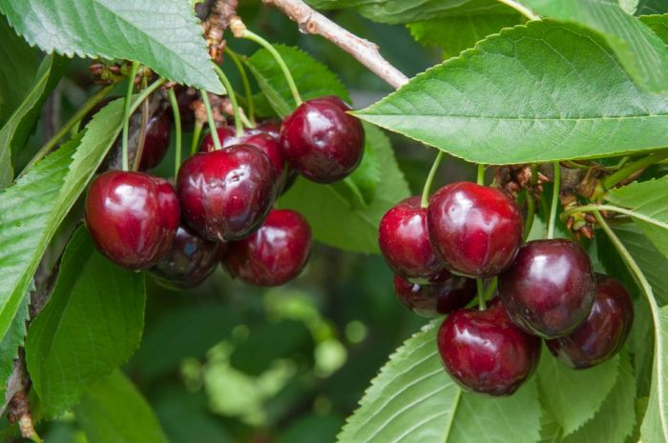 cherry (sweet) 'Merchant'